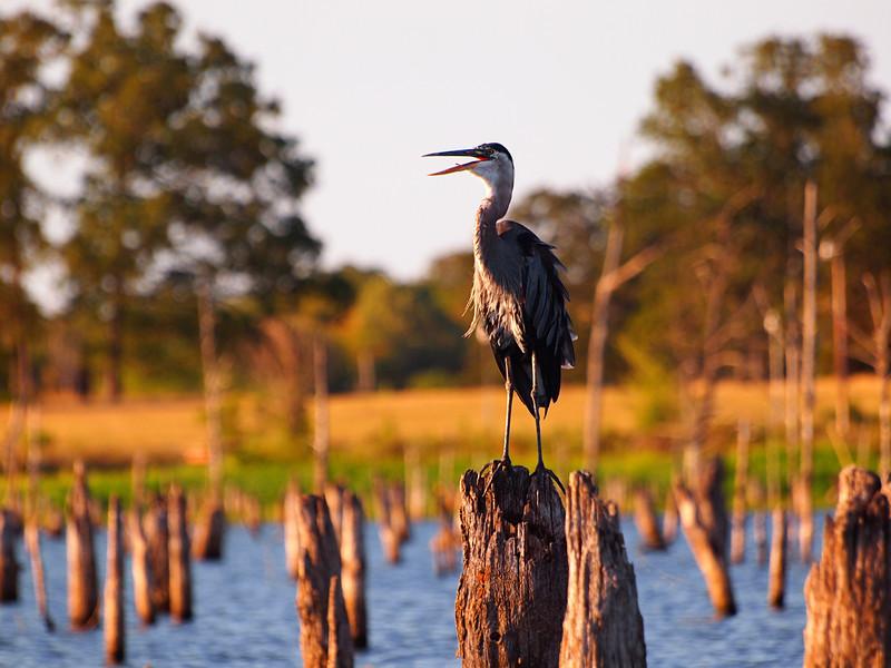 Airing Out - Blue Heron - Lake Fork, Texas  Order Code: B36