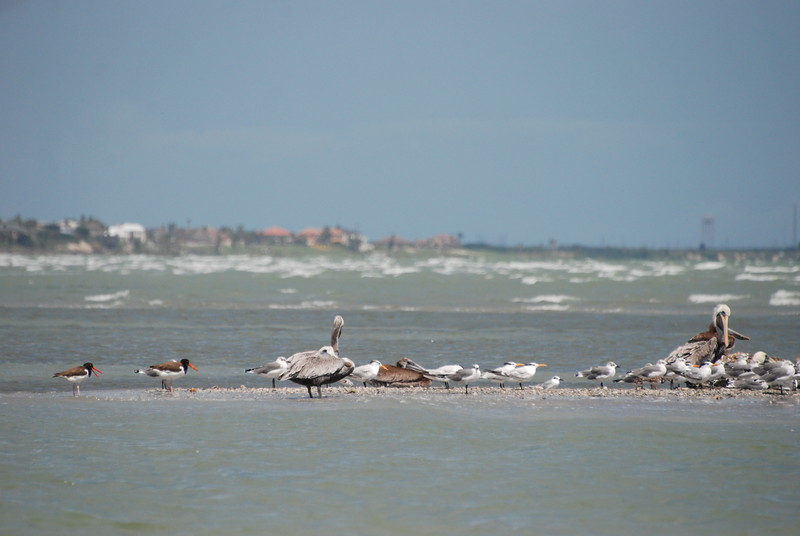 American Oystercatchers, Brown Pelicans, Royal Terns, TX