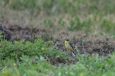 Wagtail, Western yellow (ssp. thunbergi)