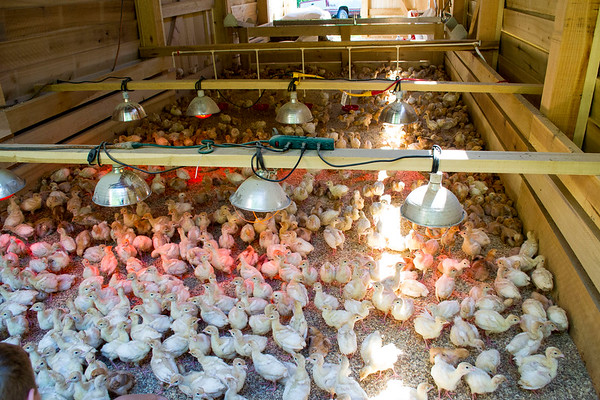 Chicks n Pigs