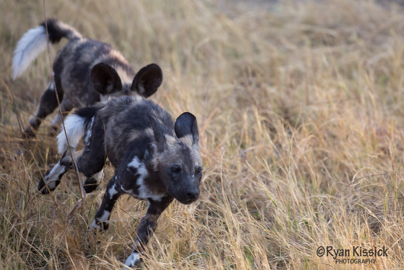 The wild dog puppy chase is on!