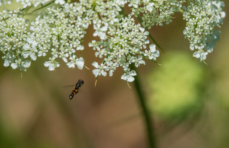 Daucus-carota-hoverfly3.jpg