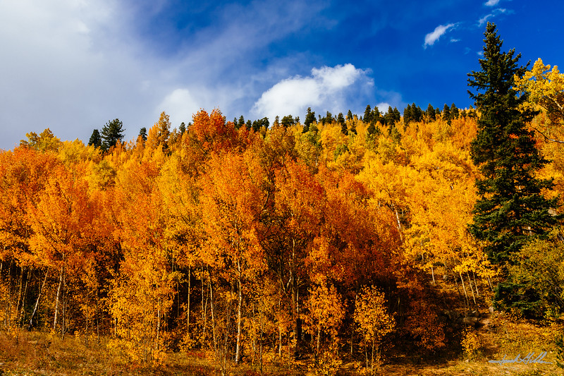 Brilliant yellow and gold aspen trees