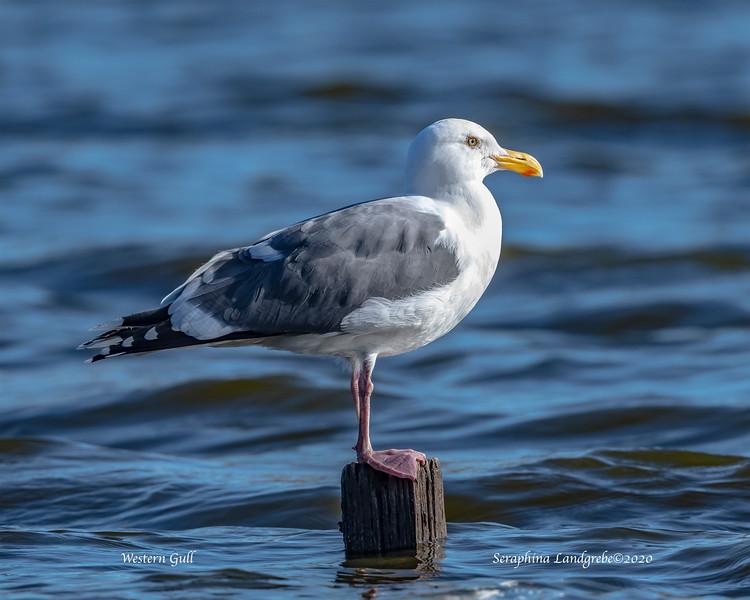 _DSC6526Western Gull.jpg