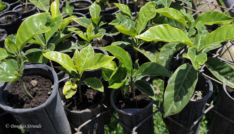Tres Generations:  Coffee Plants