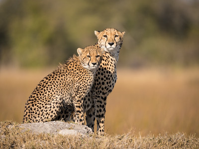 Cheetah & Cub Lookout