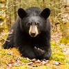Image of Victoria taken April 2012. Victorla was born in January 2011. Ursus americanus (American Black Bear).