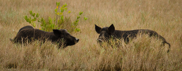 """Wild boars.  I think we saw 4 of them but most of the time they had their heads down eating just like a couple of """"pigs""""."""