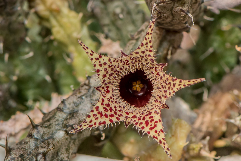 ST 001 Stapelianthus decaryi-9972.jpg