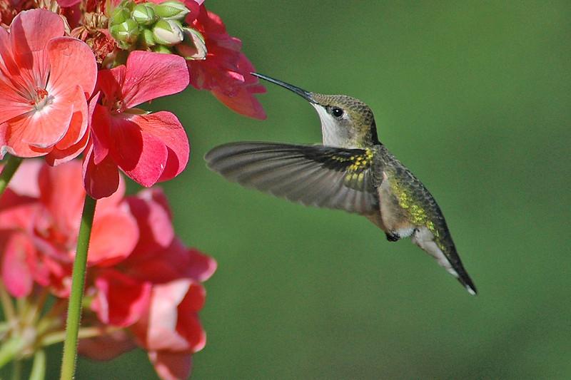 Hummingbird - Ruby-throated - female - Dunning Lake, MN - 02