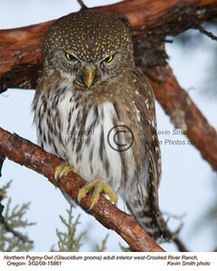 NorthernPygmyOwl15861.jpg