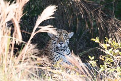 Pantanal Jaguars