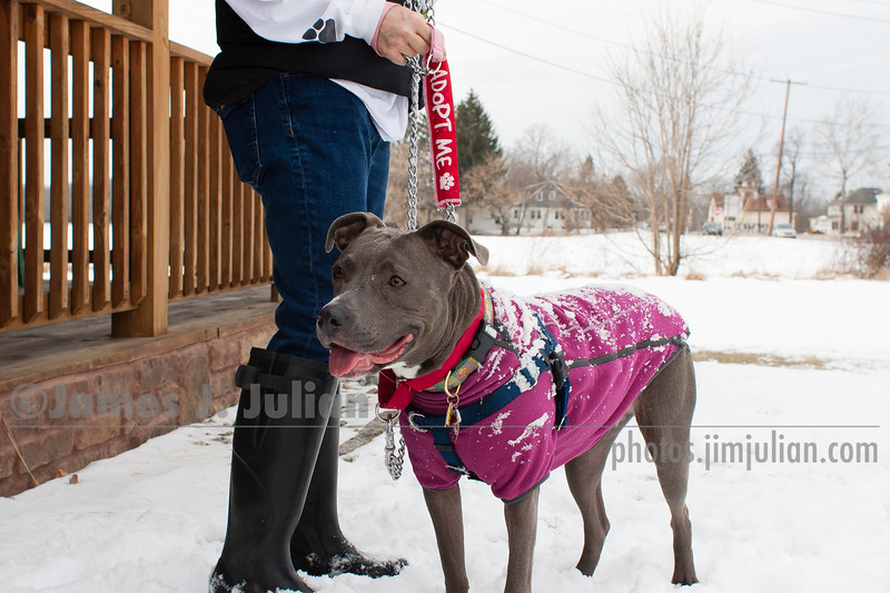 Lana the Sweet Blue Nose Pit Bull