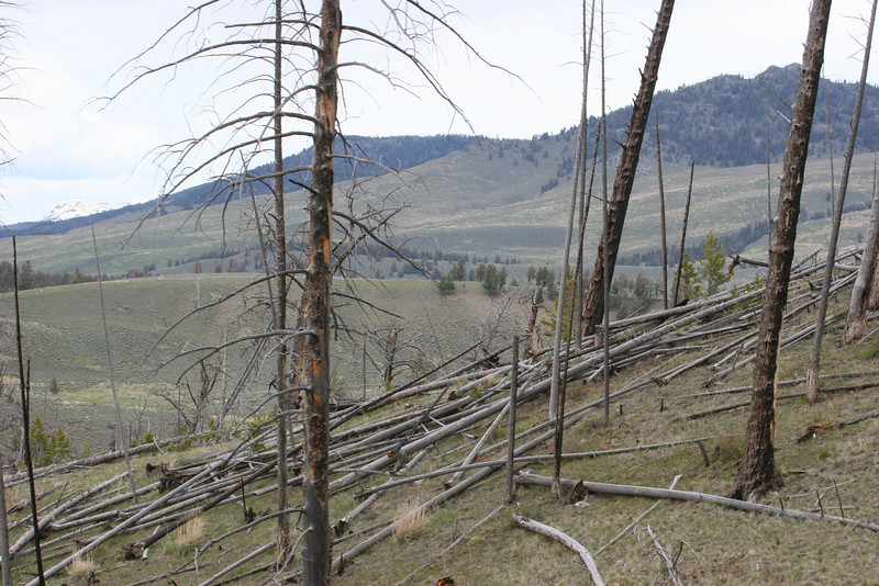 evidence of the Yellowstone fires of 1988 - this dead wood is all over the Park