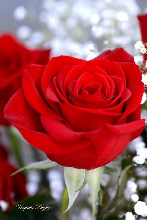Valentine Roses 2020