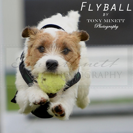 Flyball Shows