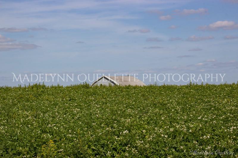 Potato Barn and Blossoms