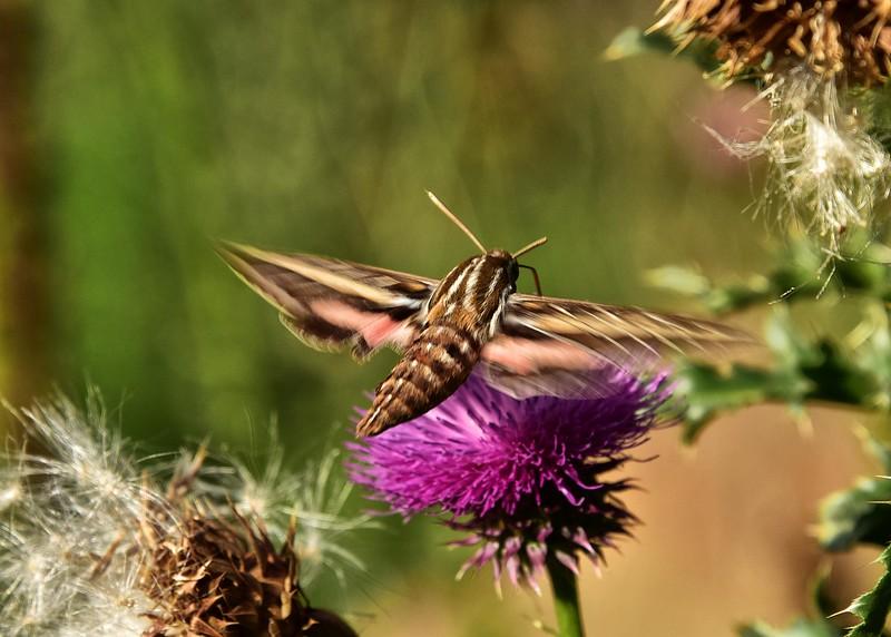 NEA_0082-7x5-Moth-Flower.jpg