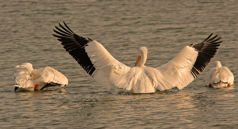 IMG_6679_pelicans3edited-1.jpg