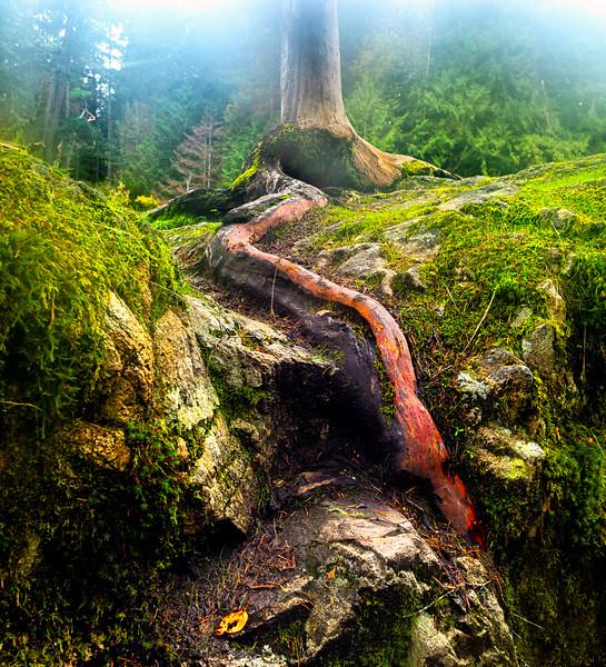 PM Little Qualicum Falls Tree-Rev2_K3A3672-1.jpg