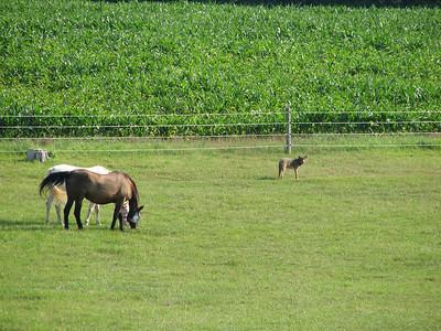 20070718 Coyote & Horses