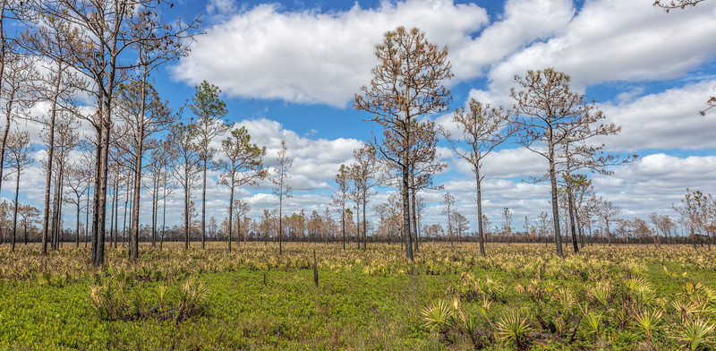 A fairly recently burned pine flatwoods at Hal Scott Preserve
