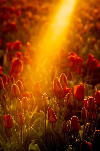 Sunrise Tulips-7.jpg