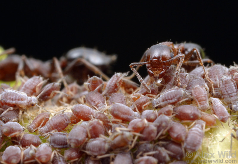Crematogaster cerasi tending ivy aphids for honeydew.