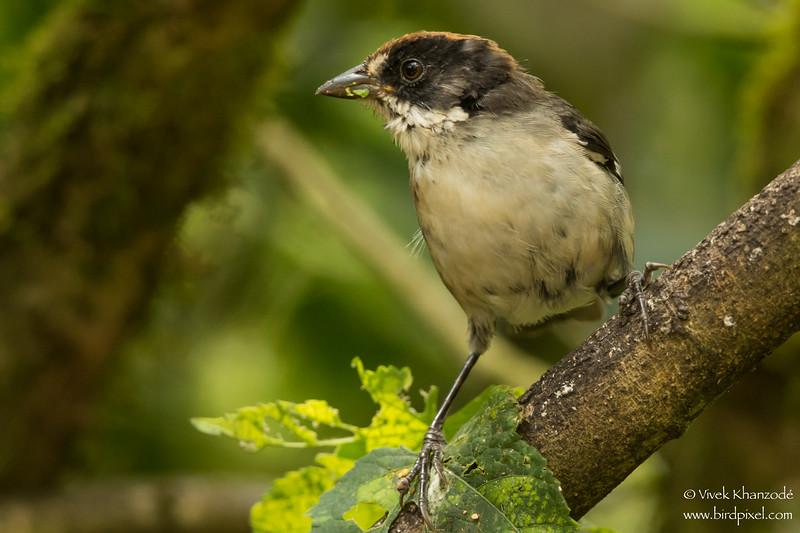 White-winged Brush-Finch - Mindo, Ecuador