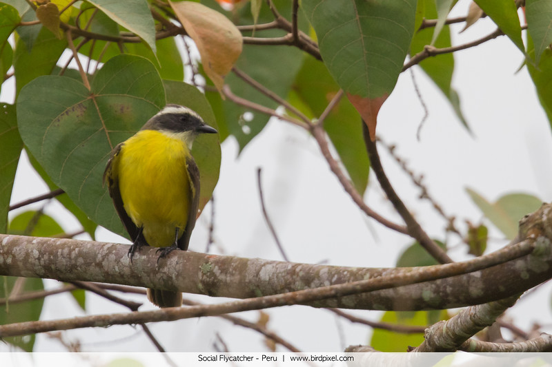 Social Flycatcher - Peru
