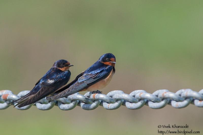 Barn Swallow - Palo Alto, CA, USA