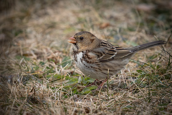 Dec 25th 2018 Harris Sparrow Cardinal