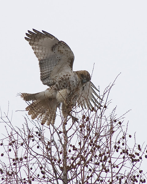 Juvenile Red-tail Hawk