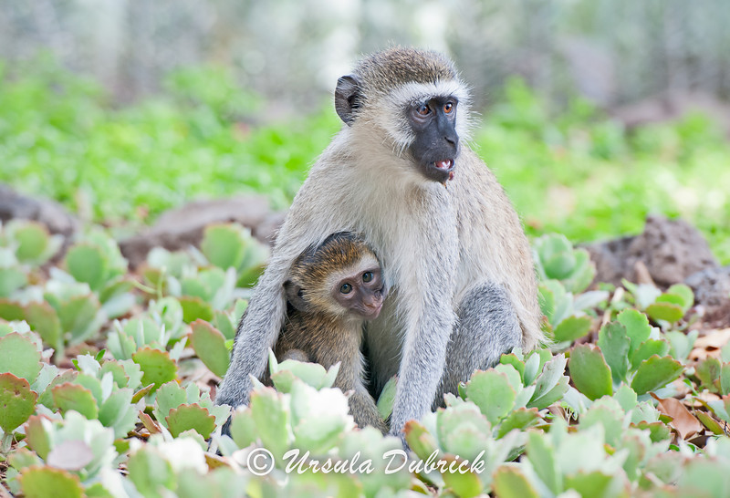Vervet Monkey nursing her baby - Kenya