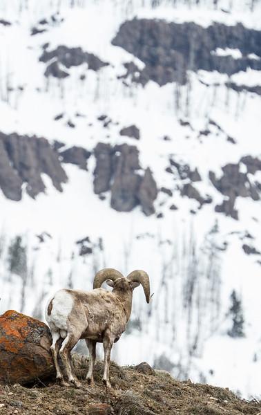 Bighorn rams bachelor herd near Soda Butte Yellowstone National Park WY IMG_6764.jpg