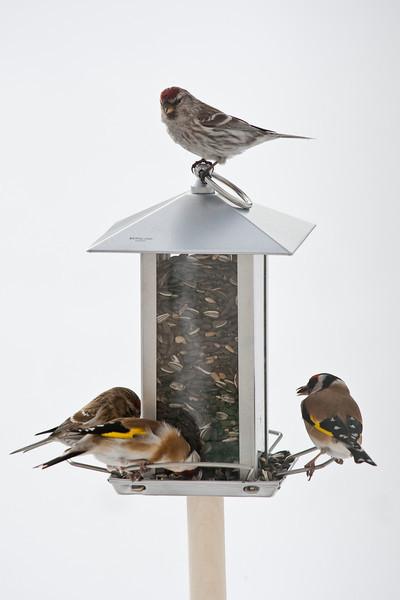 Goldfinch and Redpoll (Carduelis carduelis, Steglits and Carduelis flammea, Gråsiska)