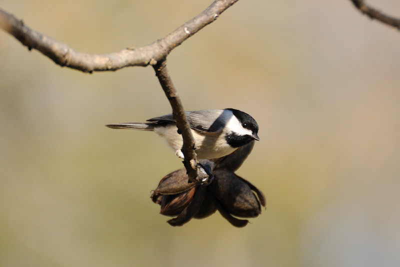 So glad to finally have a sunny day to visit with them and very happy to see the Carolina chickadees around too.