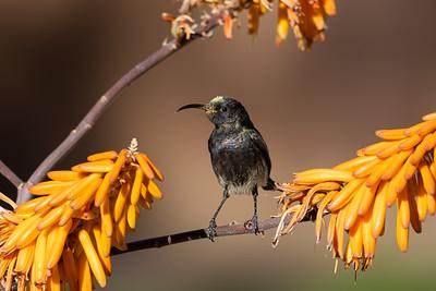Dusky Sunbird