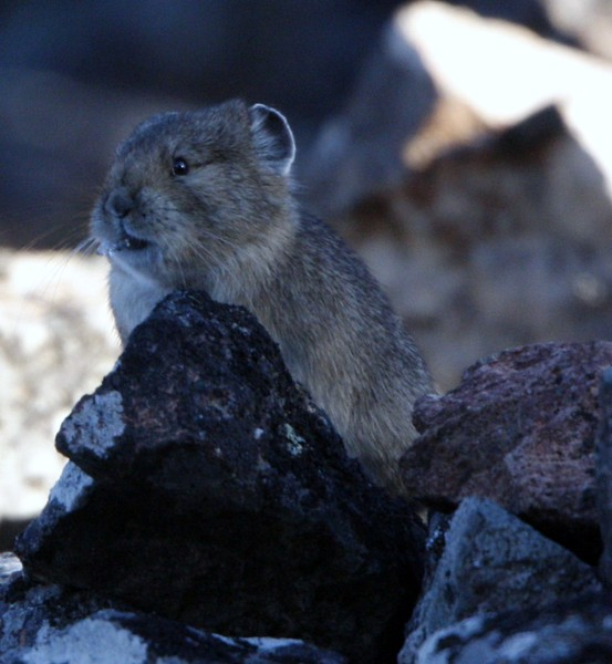 Pika - Yellowstone Park