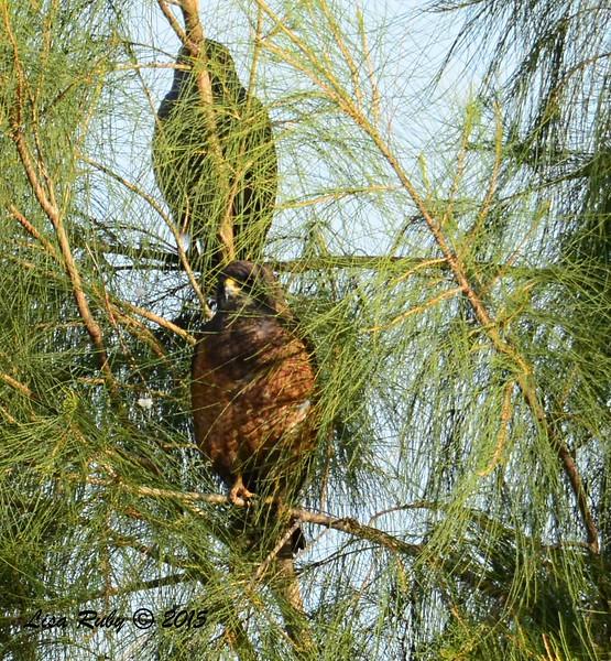 Swainson's Hawks - 3/15/2015 - Borrego Springs, Borrego Valley Rd