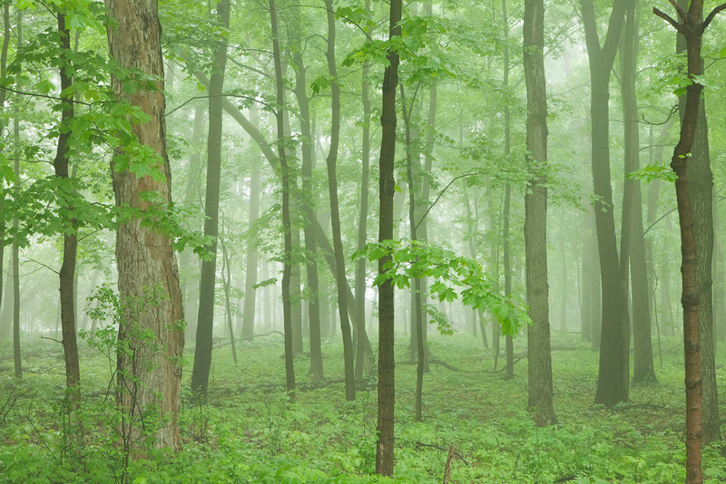 Spring forest and fog, Illinois