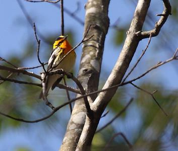 Warblers April 2010
