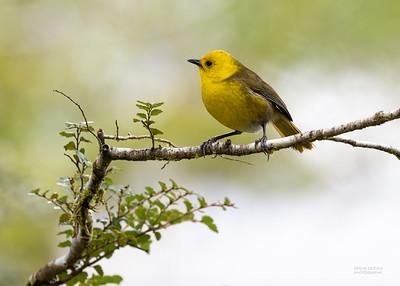 Yellowhead (Mohoua ochrocephala) EN