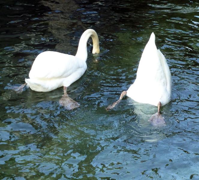 Day8-Swans2.jpg
