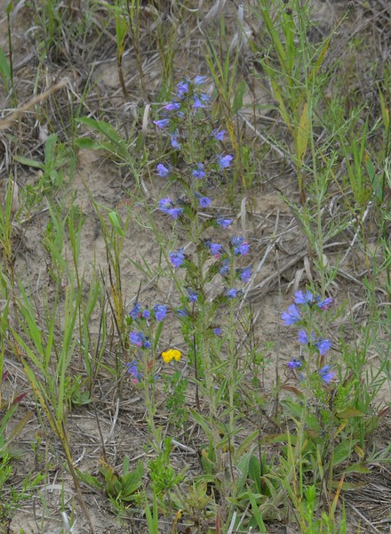 Viper's Bugloss , in Area 5 (Photo by Thomas Jackman)