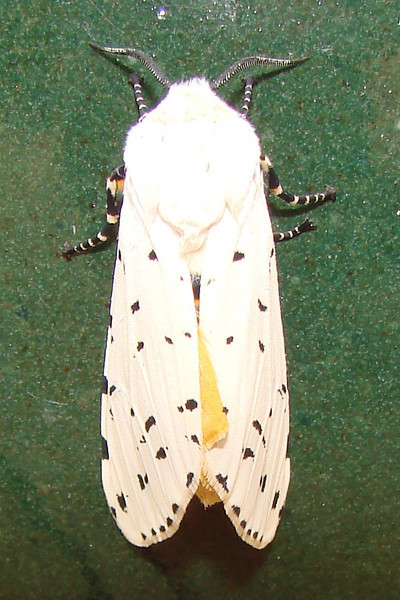 Salt Marsh Moth (Estigmene acrea) male. TX: Tarrant Co. (Duhons' Fort Worth yard), 27 March 2009.