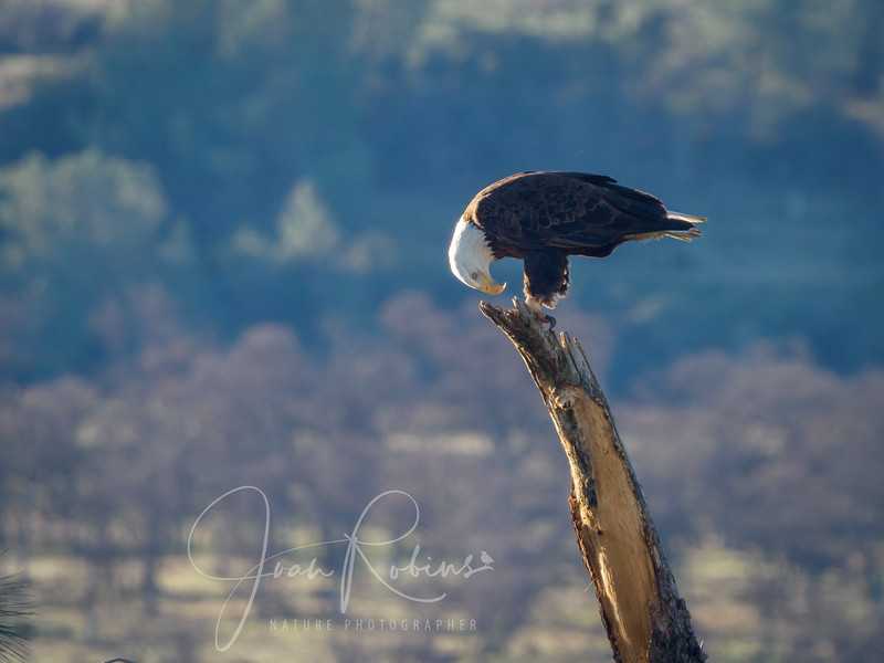 210221-Lassen Eagles Feb-2216454-Edit.jpg