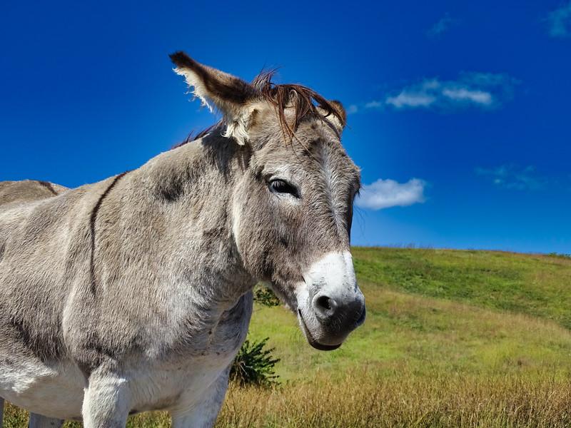 Wild Donkey Custer State Park, SD