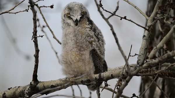 4-17-18 Video - Great Horned Owl & Owlets