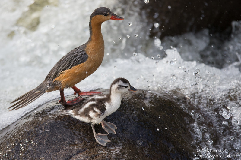 Torrent Duck with duckling - Near San Isidro Lodge, Ecuador